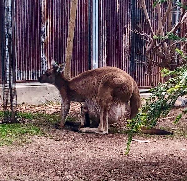 Kangaroo-Joey-Pouch